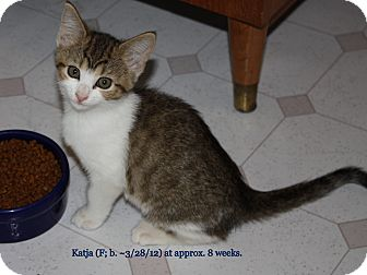 Domestic Shorthair Kitten for adoption in Union, Kentucky - Katja