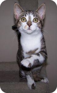 Domestic Shorthair Cat for adoption in Colorado Springs, Colorado - K-Paws1-Yuki