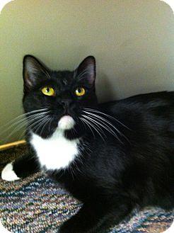 Domestic Shorthair Cat for adoption in Phoenix, Arizona - MIA