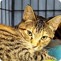 Adopt A Pet :: CC (Cautious Cat) - Houston, TX