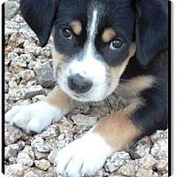 Adopt A Pet :: Archer - Gilbert, AZ