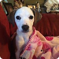 Adopt A Pet :: Molly - Cranford, NJ