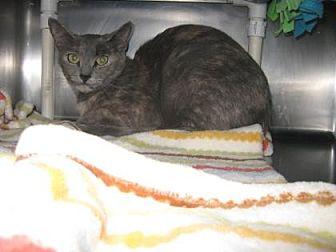 Domestic Shorthair Cat for adoption in Roseville, California - Sweetie