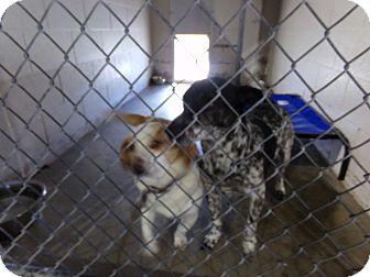Beagle Dog for adoption in Osceola, Arkansas - Sugar and Spot