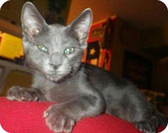 Russian Blue Cat for adoption in Sacramento, California - Turner