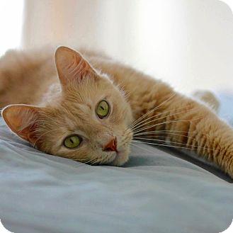 Domestic Longhair Cat for adoption in Long Beach, New York - Orangino