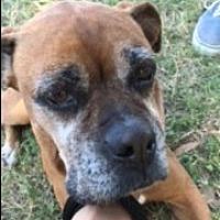 Boxer Dog for adoption in Austin, Texas - Peachy Pie