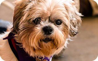 Shih Tzu Dog for adoption in Washington, D.C. - Emme (fka Effie)
