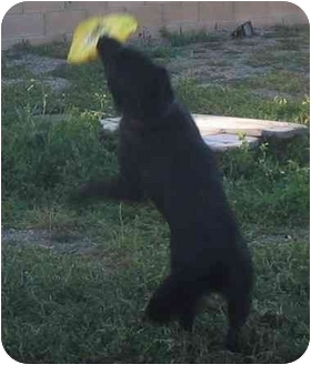 Labrador Retriever/Border Collie Mix Dog for adoption in Riverside, California - Rosco