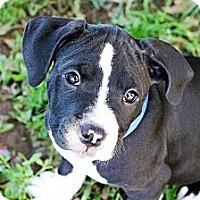 Adopt A Pet :: Lexi - Reisterstown, MD