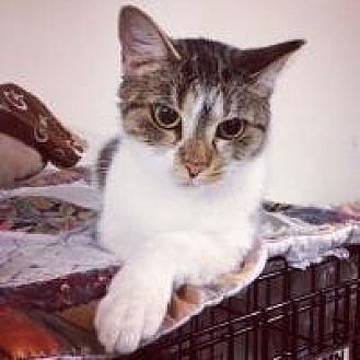 Domestic Shorthair Cat for adoption in Cleveland, Ohio - Gem