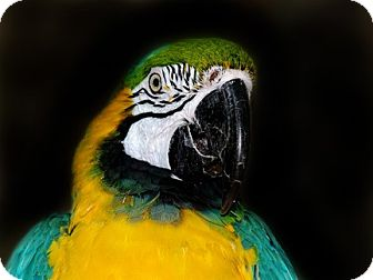 Macaw for adoption in Wilmington, North Carolina - Charlie