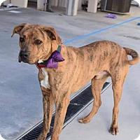 Adopt A Pet :: Charley - Greensboro, NC