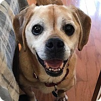 Adopt A Pet :: Charlie Puggle - Indianapolis, IN