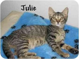 Domestic Shorthair Cat for adoption in AUSTIN, Texas - Julie