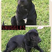 Adopt A Pet :: Snuggles-pending adoption - Manchester, CT