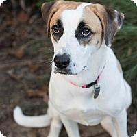 Foxhound/Mixed Breed (Medium) Mix Dog for adoption in Marietta, Georgia - Tori