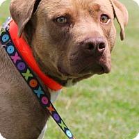 Adopt A Pet :: Boomer - Glastonbury, CT