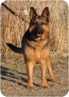 German Shepherd Dog Dog for adoption in Hamilton, Montana - Molly
