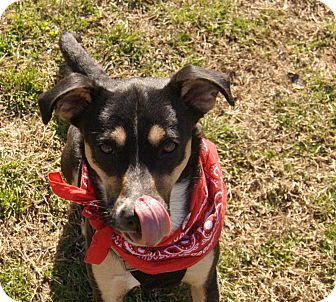 Labrador Retriever/Terrier (Unknown Type, Small) Mix Dog for adoption in Bluff city, Tennessee - Sassy