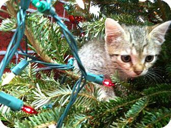 Domestic Shorthair Kitten for adoption in Miami, Florida - Sadie