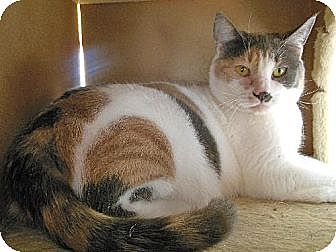 Domestic Shorthair Cat for adoption in Richmond, Virginia - Daisy