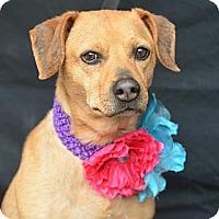Adopt A Pet :: Rhoda - Plano, TX