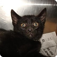 Domestic Shorthair Cat for adoption in Miami, Florida - Sully