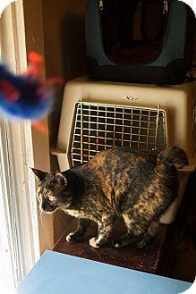 Domestic Shorthair Cat for adoption in Statesville, North Carolina - Bella