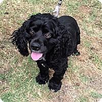 Adopt A Pet :: Midgnight-ADOPTION PENDING - Sacramento, CA
