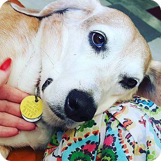 Basset Hound/Beagle Mix Dog for adoption in Columbia, South Carolina - Smudgie