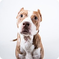 Pit Bull Terrier Mix Dog for adoption in Adrian, Michigan - Piper