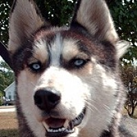 Siberian Husky Dog for adoption in Raleigh, North Carolina - Biggs - LOST