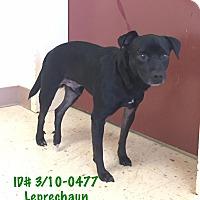 Adopt A Pet :: Leprechaun - McDonough, GA