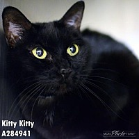 Adopt A Pet :: KITTY KITTY - Conroe, TX