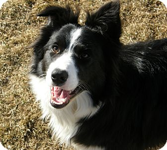 Border Collie Dog for adoption in Meridian, Idaho - Vail