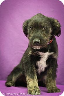 Shepherd (Unknown Type)/Terrier (Unknown Type, Medium) Mix Puppy for adoption in Broomfield, Colorado - Waffles