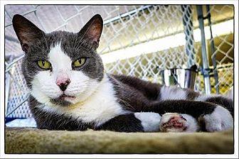 Domestic Shorthair Cat for adoption in Freeport, New York - Sabrina