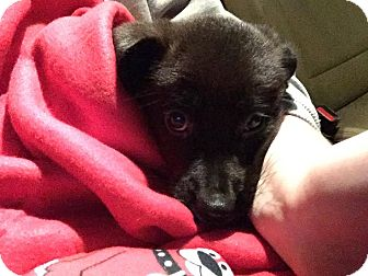 Jack Russell Terrier/Shepherd (Unknown Type) Mix Puppy for adoption in Fairview Heights, Illinois - Lock