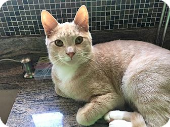 Domestic Shorthair Cat for adoption in Mount Laurel, New Jersey - Hash Brown