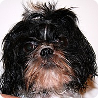 Shih Tzu Mix Dog for adoption in Torrance, California - Harry