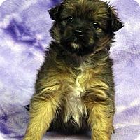 Adopt A Pet :: TAMMI - Westminster, CO