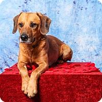 Adopt A Pet :: Harvey Olaus - Little Rock, AR