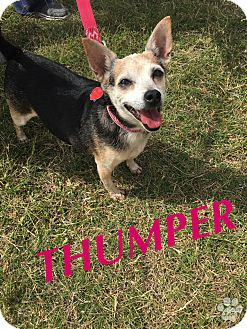 Chihuahua/Terrier (Unknown Type, Small) Mix Dog for adoption in Converse, Texas - Thumper