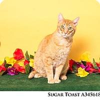 Adopt A Pet :: SUGAR TOAST - Reno, NV