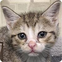 Adopt A Pet :: Layla - Springdale, AR