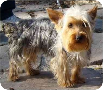 Yorkie, Yorkshire Terrier Dog for adoption in Tallahassee, Florida - Bailey