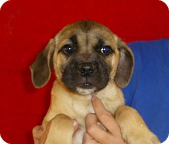 Pug/Beagle Mix Puppy for adoption in Oviedo, Florida - Mally