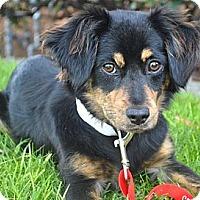 Adopt A Pet :: Juno - Los Angeles, CA