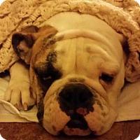 Adopt A Pet :: Bella (Baby Bella) - Decatur, IL